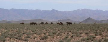 camel-hird-saghrou-mountain