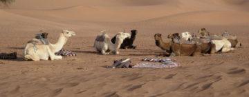 camels-transportation